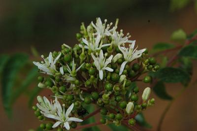 bunga kari