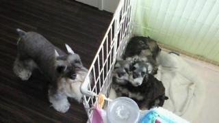 ミニチュアシュナウザー、チビと子犬
