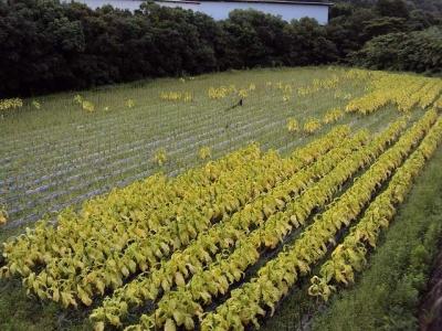 2009タバコ畑1