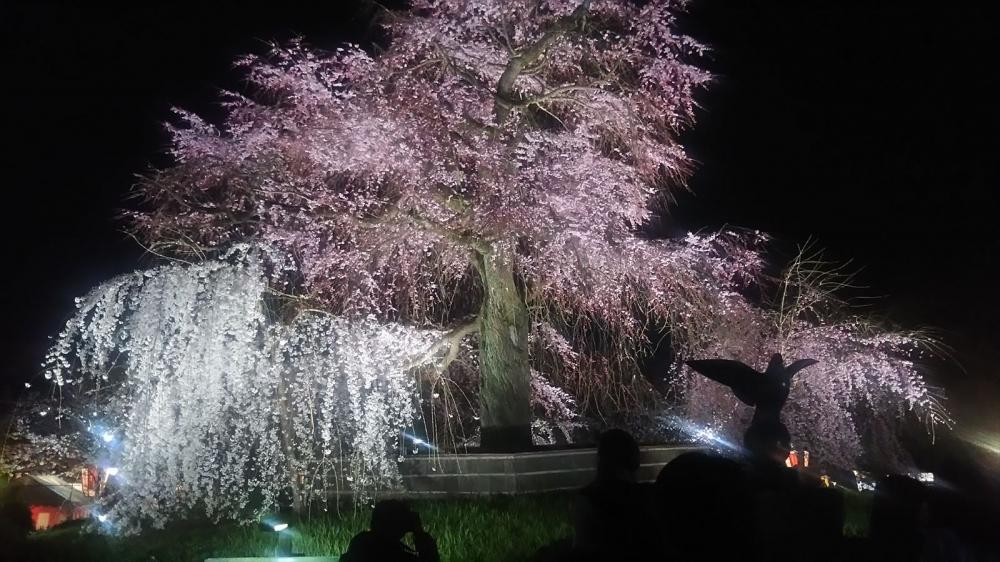 八坂神社 桜 京都市_R.JPG