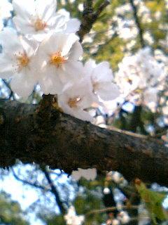 桜080402-3