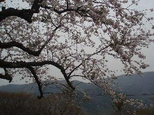 桜(詠花)