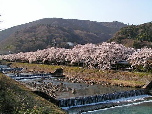 宮城野の早川沿いの桜昨年