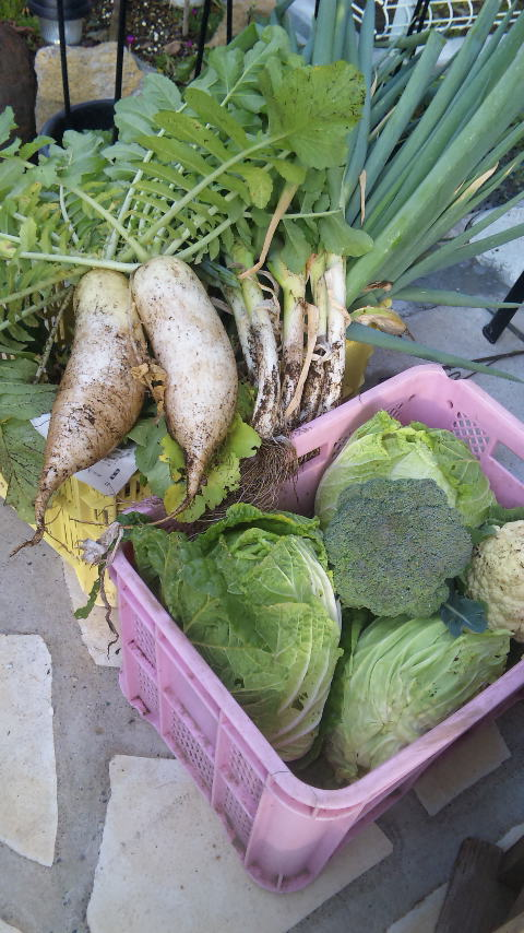 白菜、ブロッコリー、カリフラワー、キャベツ、ねぶか、大根