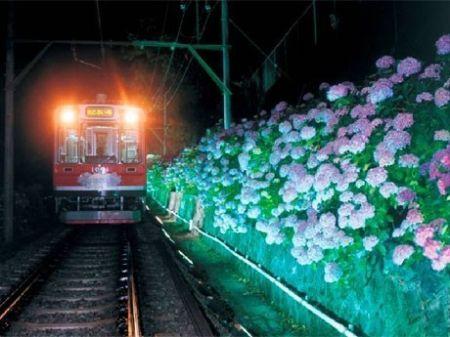 紫陽花電車と紫陽花