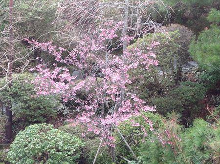 庭の河津桜_R.JPG