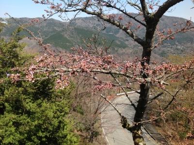 お部屋から見た桜22014_4_7.JPG