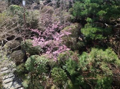 庭の河津桜2014_4_7.JPG