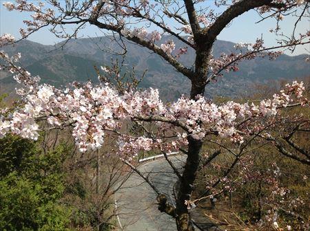 お部屋から見た桜2014_4_10_R.JPG