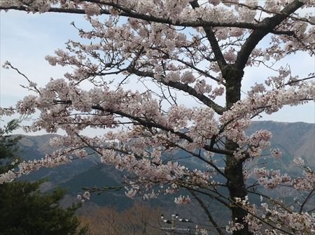 お部屋から見た桜12014_4_12_R.JPG