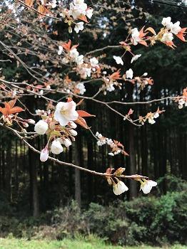 多良の森も春…