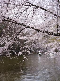 井の頭公園お花見