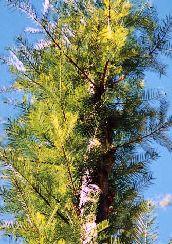 紅豆杉の木