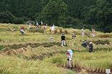 川代稲刈り風景