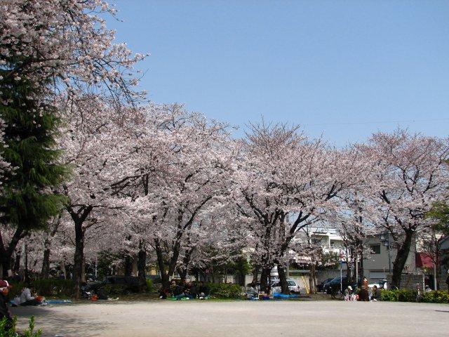 東綾瀬公園の桜 1