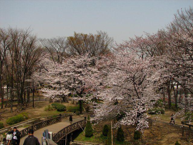 東綾瀬公園の桜 2