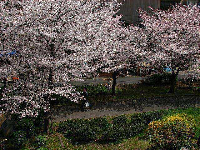 東綾瀬公園の桜 3