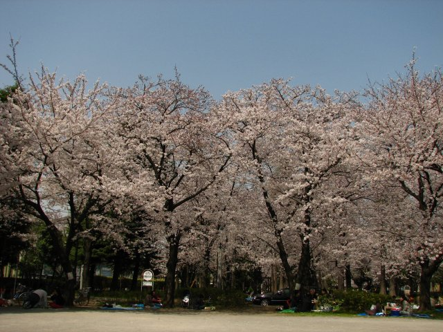 東綾瀬公園の桜 4