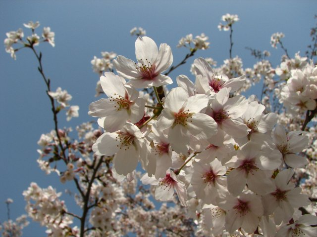 東綾瀬公園の桜 5