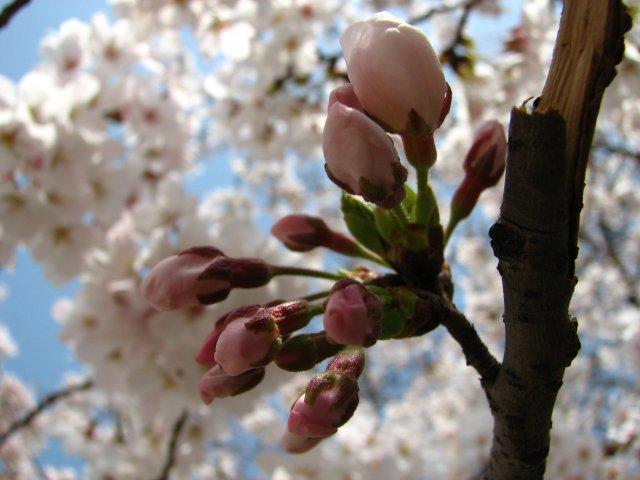 東綾瀬公園の桜 6