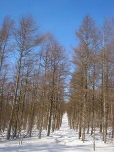種山、カラマツの道