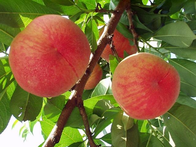 配布物-桃