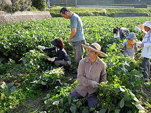 枝豆刈り1356.jpg