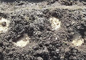 植えた種芋の周りにボカシを入れるs.jpg