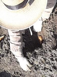 種芋に土を被せてs.jpg