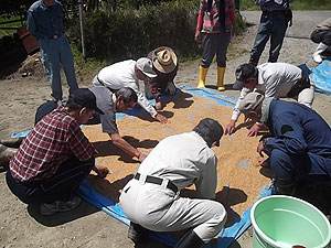 浸水した種籾を広げて水分を除去s.jpg