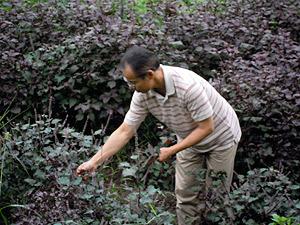 紫蘇の花つみ3112.jpg