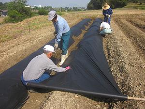 イモ畑マルチ張り1s.jpg