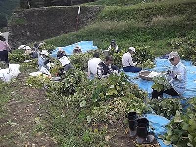 小豆収穫2m.jpg