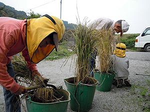 赤米稲刈り4807.jpg