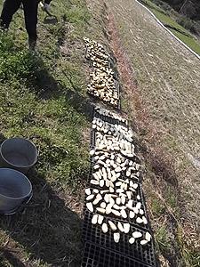 乾かす芋5617.jpg