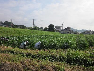 大豆畑草取り