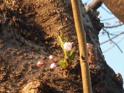 夕陽の桜も