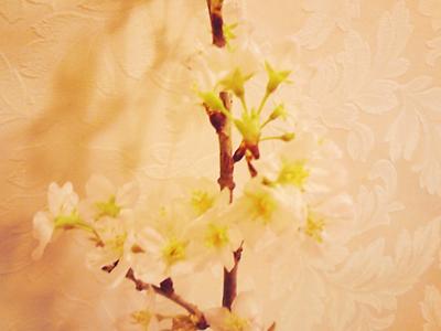 まーくんの桜
