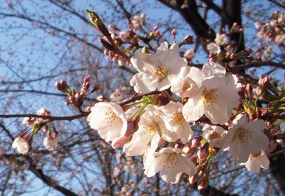 土手の桜2.jpg