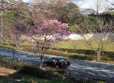 土手の桜3.jpg