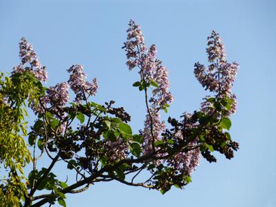 キリの花1.jpg