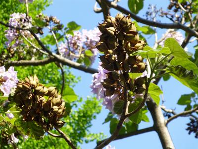 キリの花3.jpg