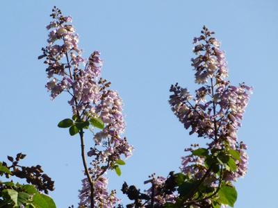 キリの花5.jpg