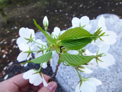 桜の葉.jpg
