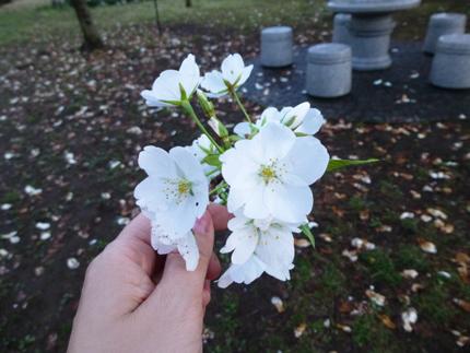 手と桜.jpg