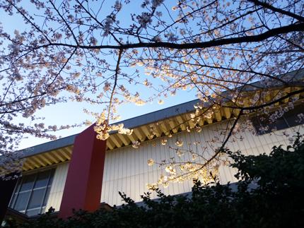 夜の桜.jpg