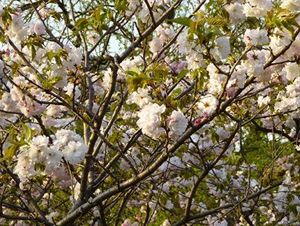 土手の桜4.jpg