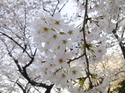桜_4.JPG
