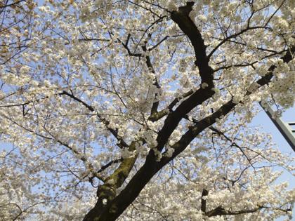 桜_6.JPG