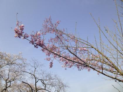 桜_10.JPG